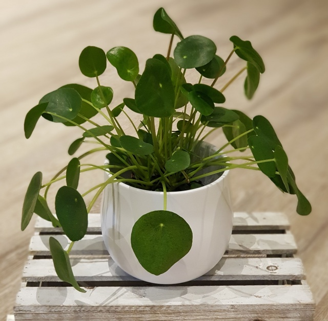 Pilea Peperomioides med potte