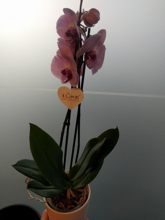 Orkide med potte til mor.