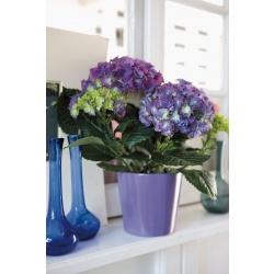 Stor hortensia med potte