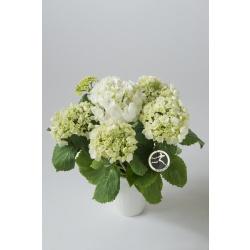 Hvit Hortensia med potte